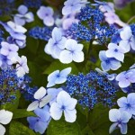 Blue Hydrangea flower in August at Bodnant Garden, Conwy, Wales © National Trust Images/Arnhel de Serra