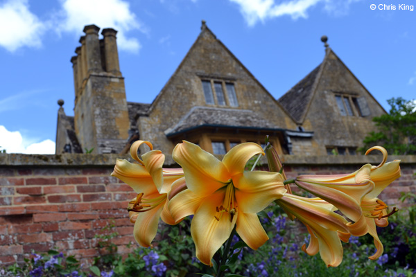 Golden Lilies at Hidcote Manor Garden, Gloucestshire, National Trust