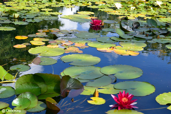 Water Lilies in the Lily Pool, Hidcote Manor Garden, Gloucestshire, National Trust