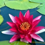 Pink waterlily in the pond at the National Trust's Hidcote Manor Garden, Gloucestershire – Green Abode images/Chris P King