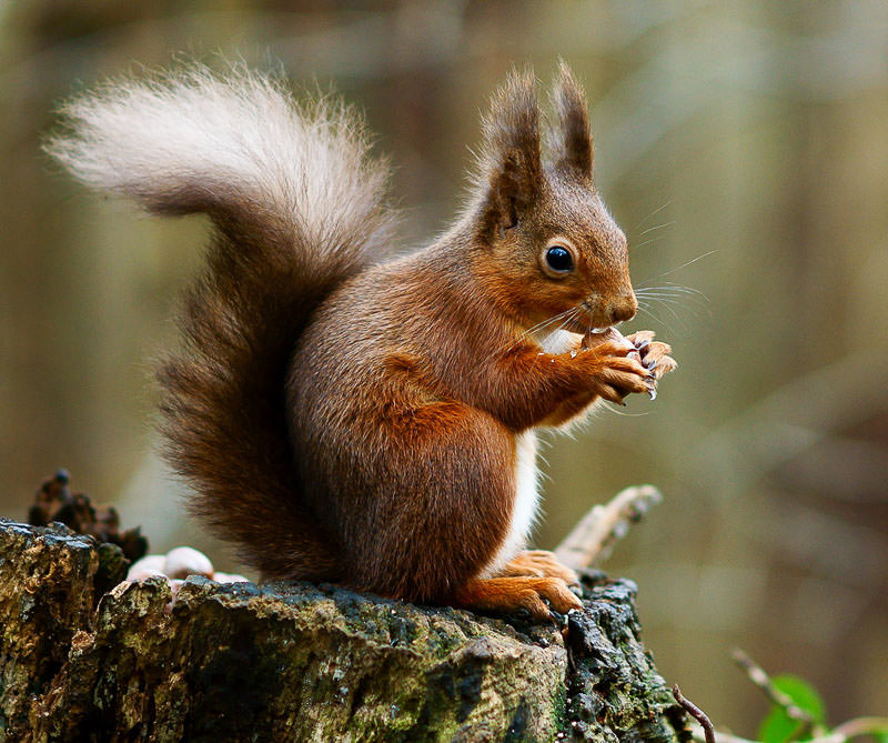 Red Squirrel spotting Borthwood Copse Isle of Wight