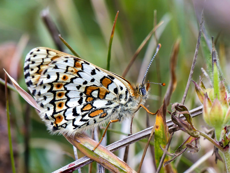 Female Glanville Fritillary at Compton Bay Isle of Wight - National Trust