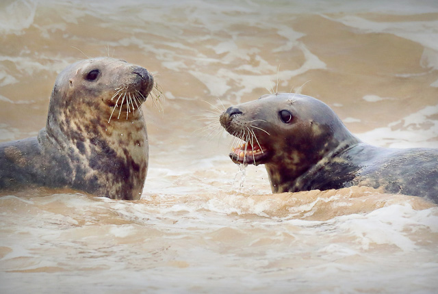 Seals playing in the sea at Godrevy, Cornwall