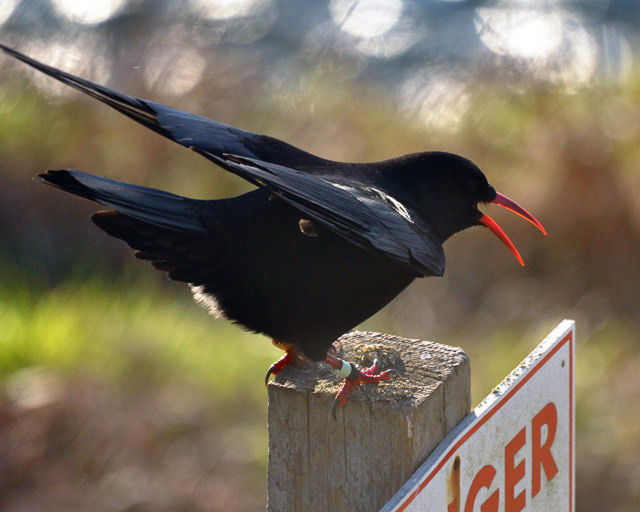 Cornish choughs feed on the clifftops in Cornwall