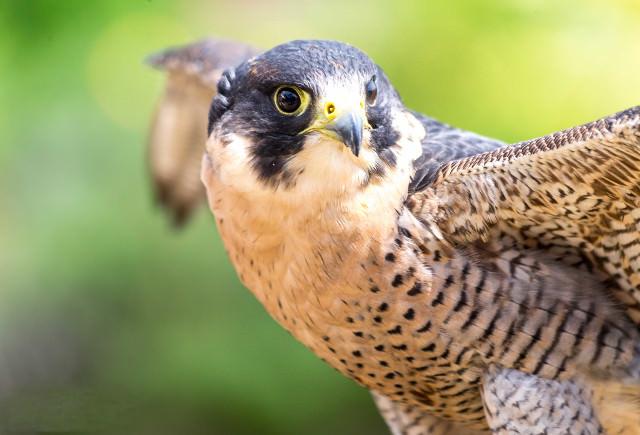 Peregrine falcon nest on Cornwall's coastal clifftops