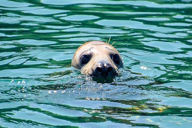 Atlantic grey seal at Lundy Island, Devon