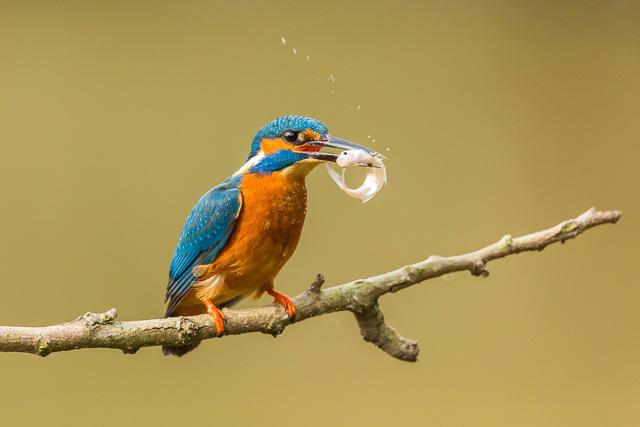 Kingfisher at Shaugh Bridge, Dartmoor National Park, Devon